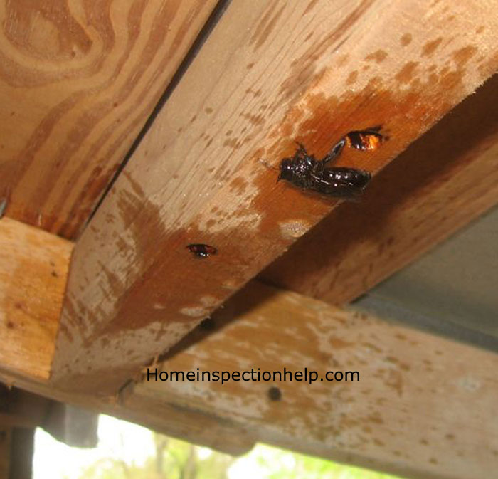 House Pest Carpenter Bee